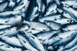 Ikan Saldmon